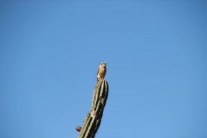 Kleiner Raubvogel auf Kaktee im Christoffel Park, Curacao