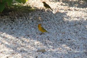 Vögel Curacao