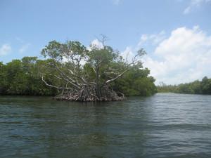 Mangroven in Mexiko