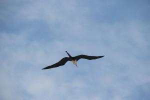 Fregattvogel in Mexiko