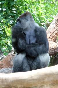 Gorilla im Loro Parque
