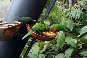 Papageienartige beim Fressen im Loro Parque