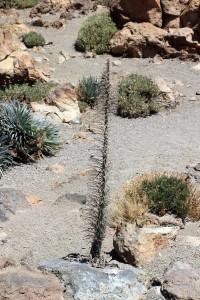 Vertrockenete Pflanze am Teide-Plateau auf Teneriffa