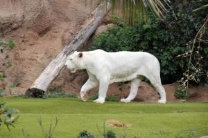 Weißer Tiger im Loro Parque, Teneriffa