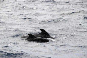 Wale vor Teneriffa