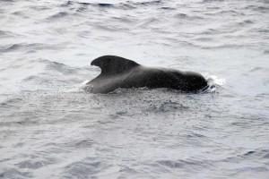 Schweinswal vor Teneriffa - Whale Watching