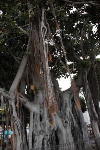 Alter Baum, Teneriffa