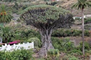 Drachenbaum in Icod de los Viinos