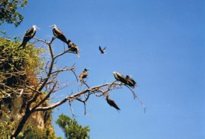Fregattvögel Dominikanische Republik